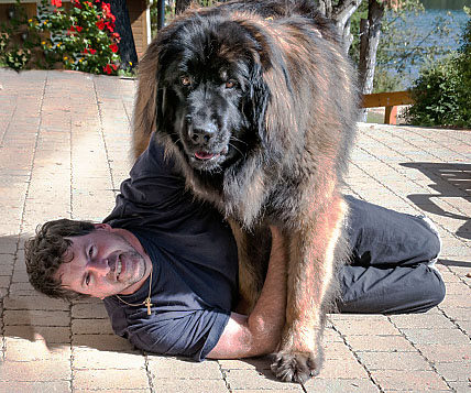Huge dog straddles atop a man